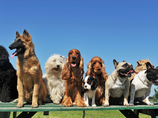 Otyłość u psów.