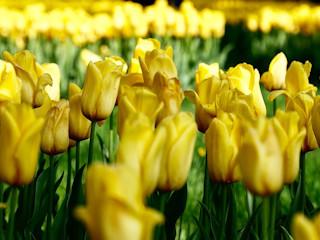 Prawidłowa uprawa tulipanów.