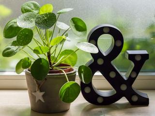 Pieniążek: ta roślina ozdobna wciąż nie wychodzi z mody! Jak ją hodować?