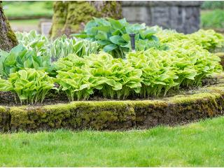 Funkia - roślina o wielu obliczach