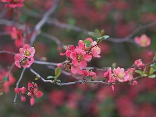 Japonia – Kraina Kwitnącej Wiśni