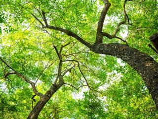 Leczenie drzewami.